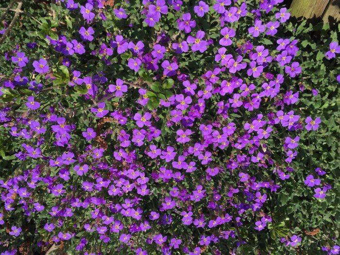 Blaukissen vor einem Gartenzaun. Foto: Ulrike Ziegler